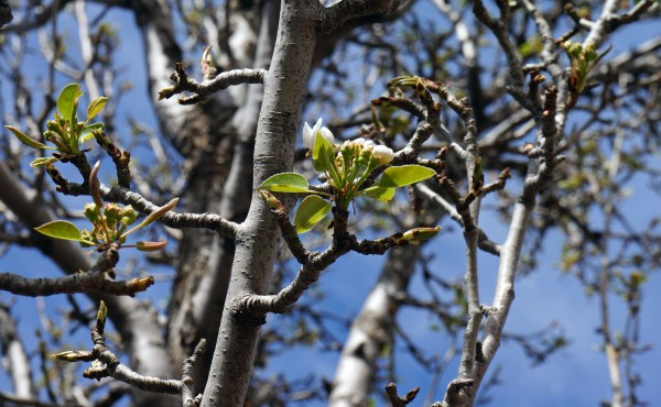 Pear Tree - Spring 2