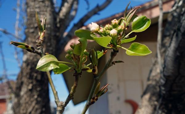 Pear Tree - Spring